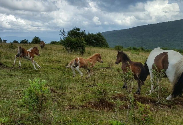 Wild ponies frolic at Grayson Highlands State Park